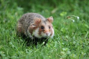 Hamster sauvage